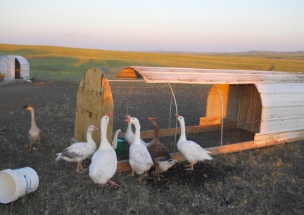 Geese In - Geese Out  Chicken Tractor 7-11